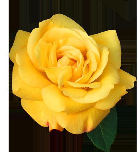 rose_512